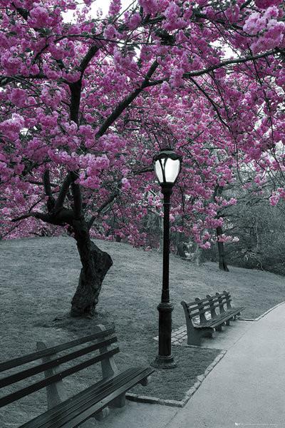 Central Park - blossom Poster