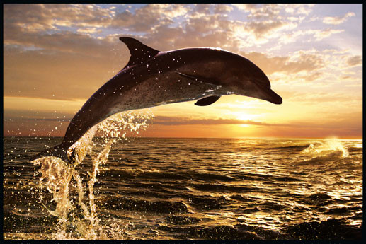 Dolphin Sunset - steve bloom Poster