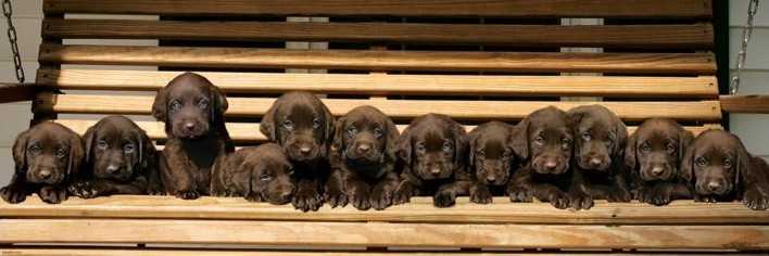Keith Kimberlin - chocolate labradors Poster