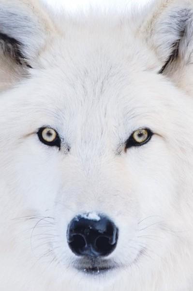 Arctic wolf Plakát