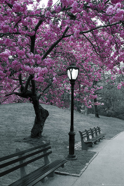 Central Park - blossom Plakát