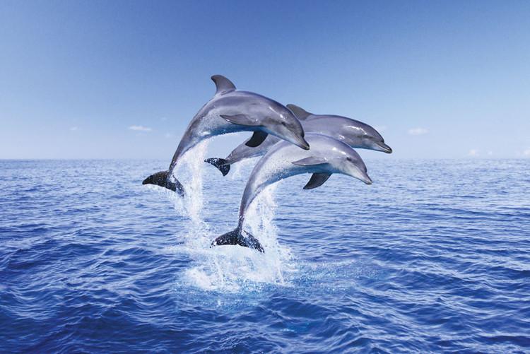 Delfíni trio Plakát