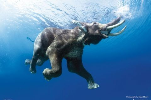 Elephant swim - steve bloom Plakát