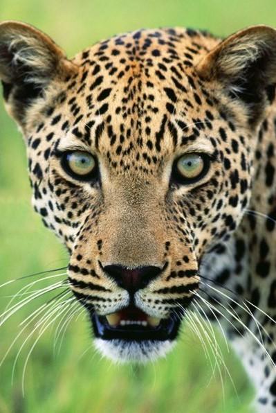 Jaguar Plakát