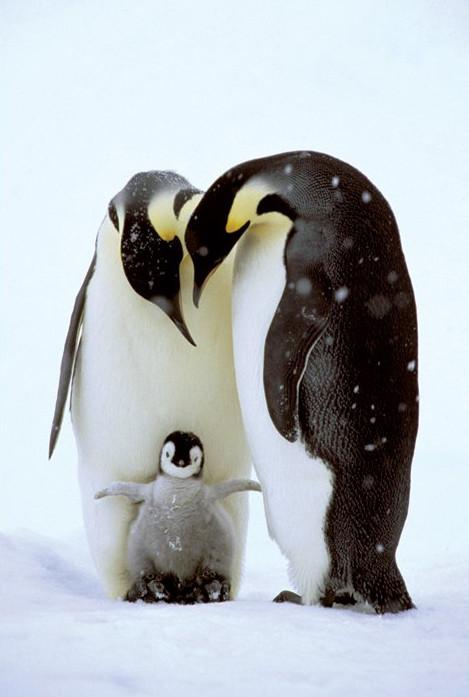 Penguin family Plakát