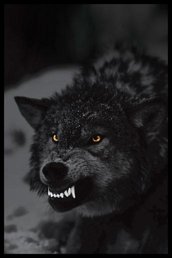 Prowling wolf Plakát