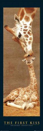 The first kiss - giraffes Plakát