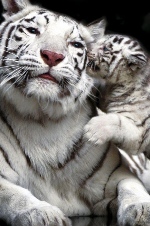 Tiger kiss Plakát