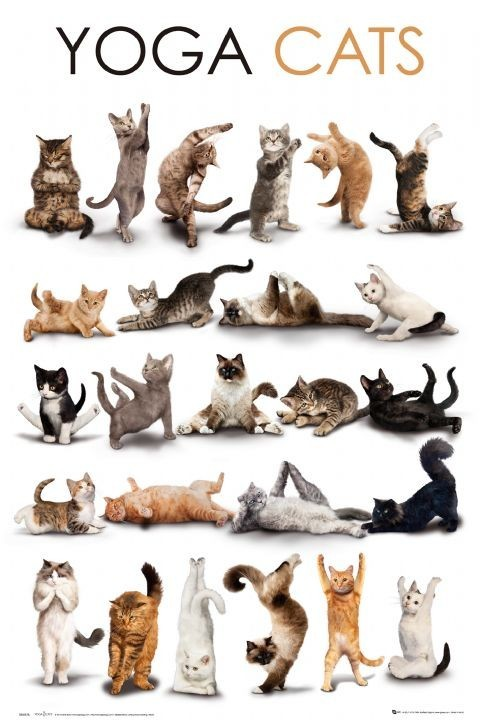 Yoga cats Plakát