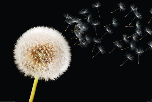 Plakat Dandelion dream