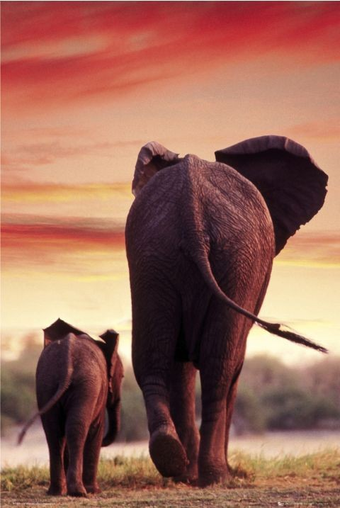 Plakát Elephant Sunset