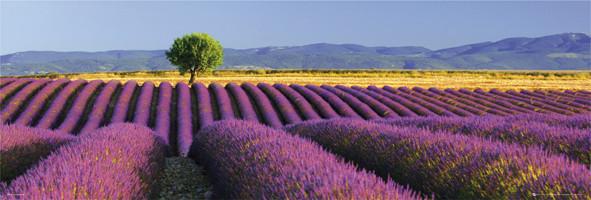 Plakát Flowers - levandulové pole