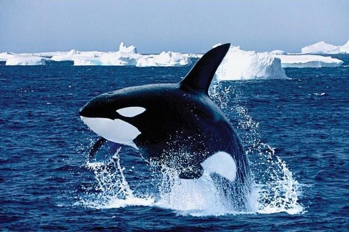 Plakat Killer whale