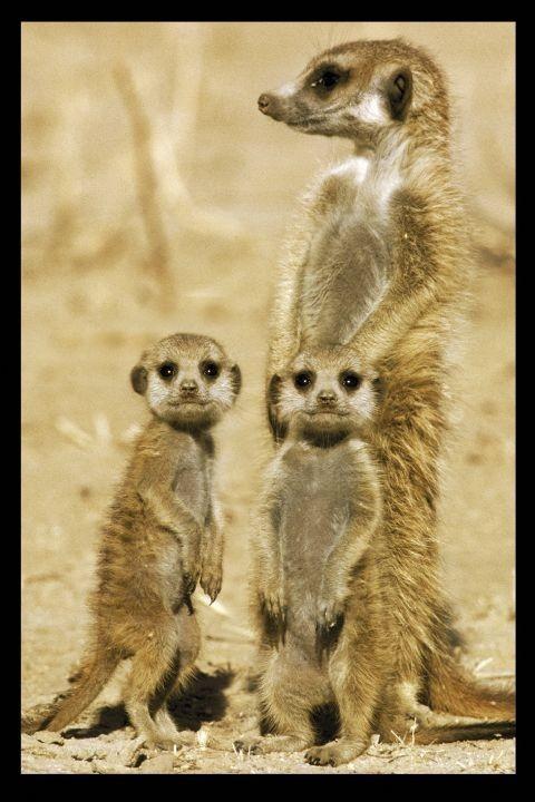 Plakát  Meerkats