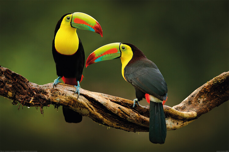Plakát Ptáci - Toucan