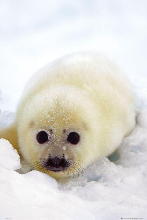 Plakat Seal cub