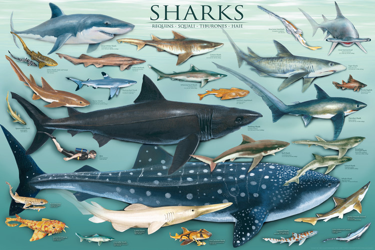 Plakat Sharks