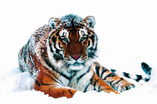 Plakat Siberian tiger
