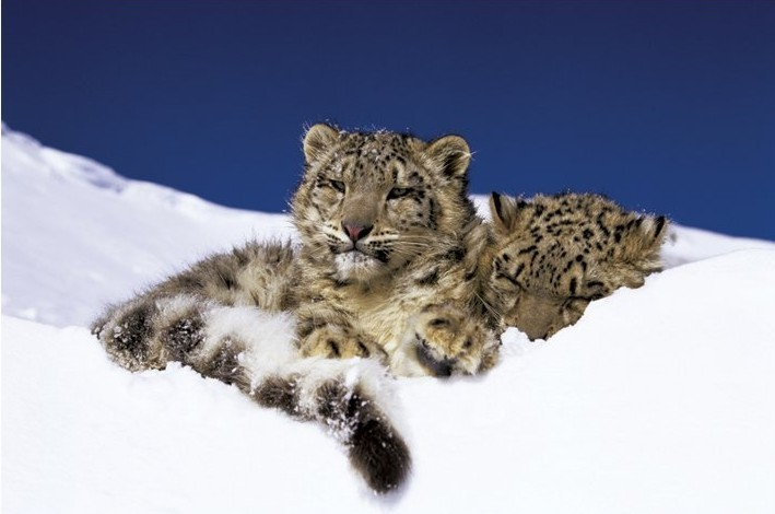 Plakát Snow leopards