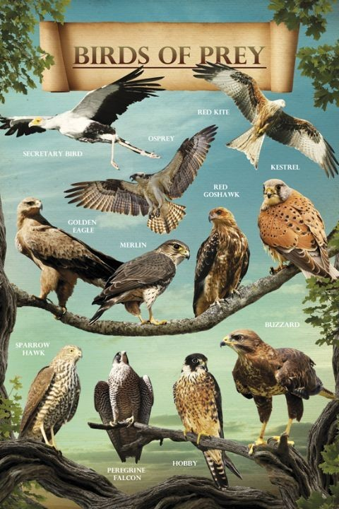 Poster Birds of prey