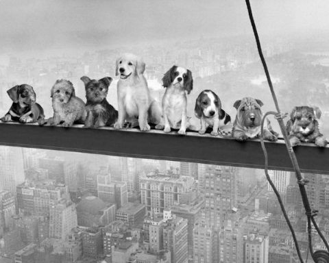 Poster Dogs on Girder
