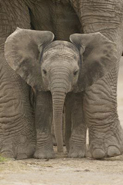 Poster Elefant - Big Ears