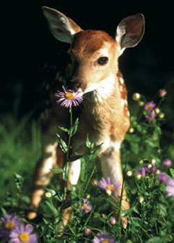 Poster Fawn