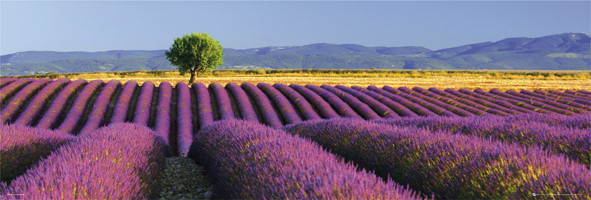 Poster Flowers – lavender field