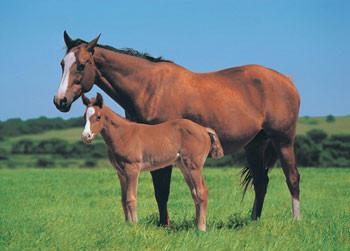 Horse & Foal Poster / Kunst Poster