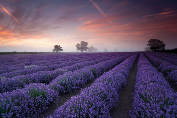 Lavendel velden - Dawn Poster
