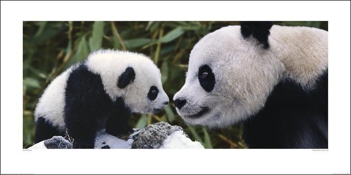 Panda - Steve Bloom Kunstdruk