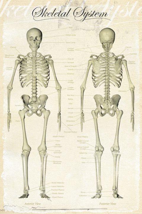skeletal system poster plakat 3 1 gratis bei europosters