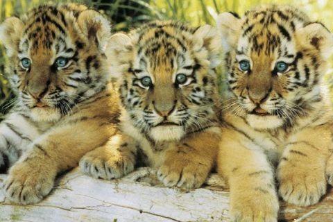 Tiger cubs Poster