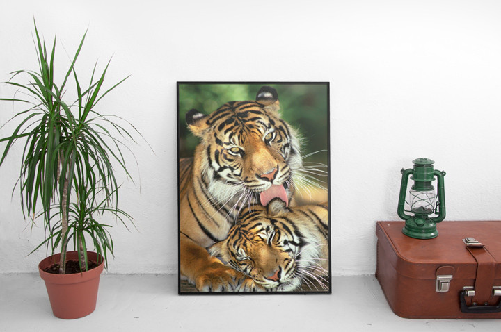 Tigers - mother's love Poster