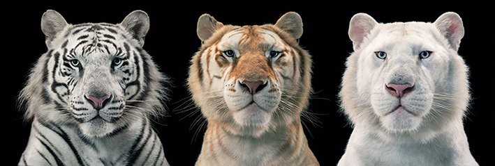 Poster  Tim Flach - tiger breeding series