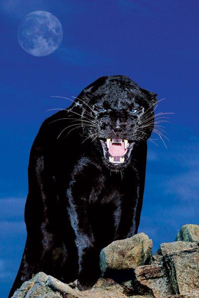 Black panther - rock Poster