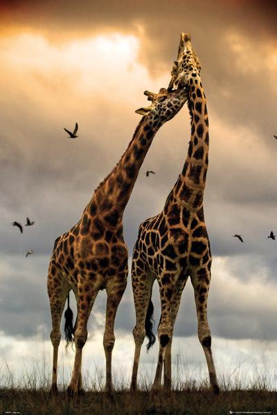 Giraffes - kissing Poster