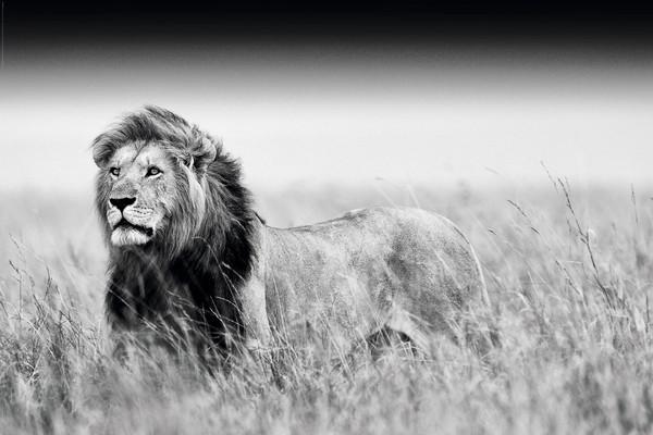 lion black white poster și tablou europosters ro