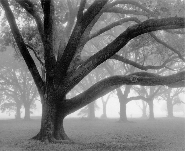 Oak Grove in Fog Reproducere