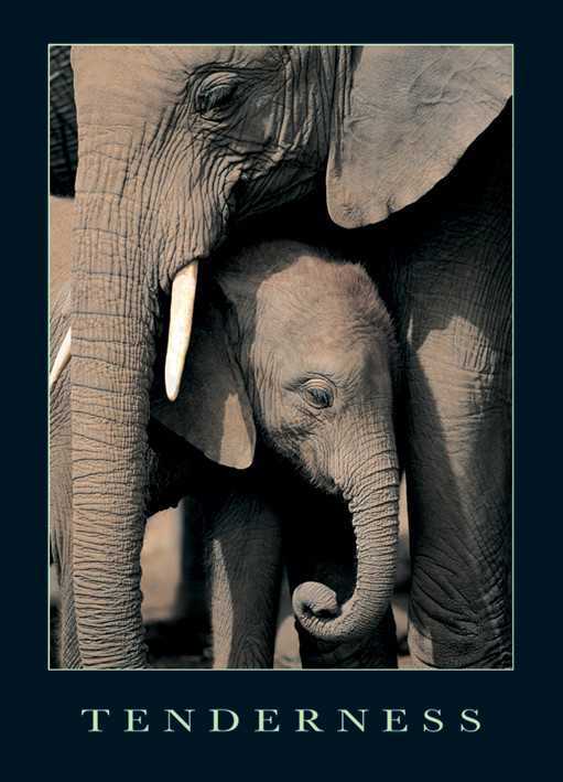 Tenderness- elephants Poster
