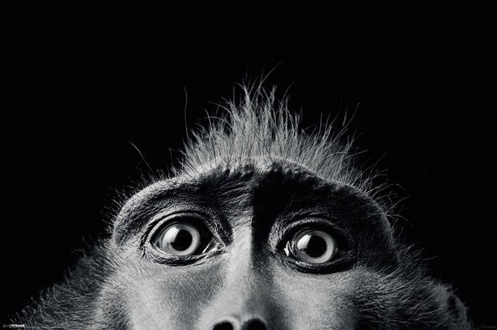 Tim Flach - monkey eyes Poster