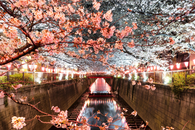 Cherry Blossom at Meguro River Poster Mural XXL