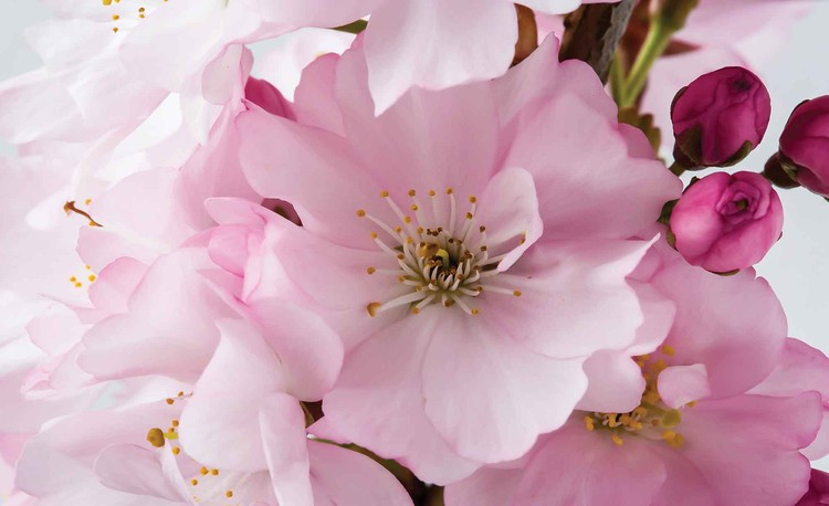 Fleurs écloses Nature Rose Poster Mural XXL