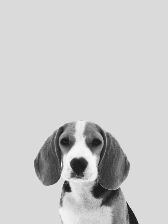 Grey dog Poster Mural XXL