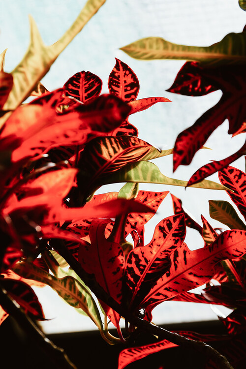 Red leaves Poster Mural XXL