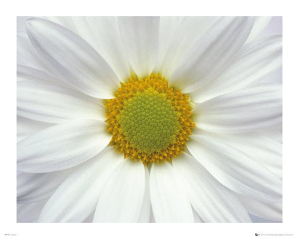 Poster Blumen - Gänseblümchen 2