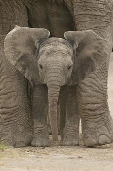 Poster Elefant - Big Ears