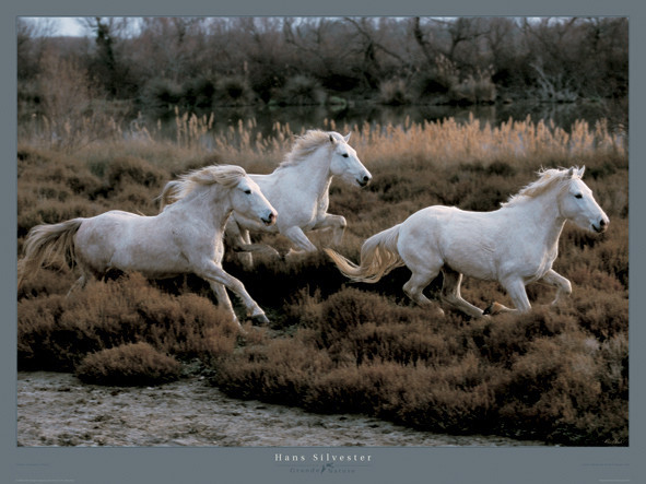 Poster Equus 3 - Camargue - France