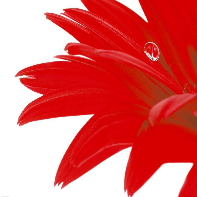 Gerbera Rouge Kunstdruck
