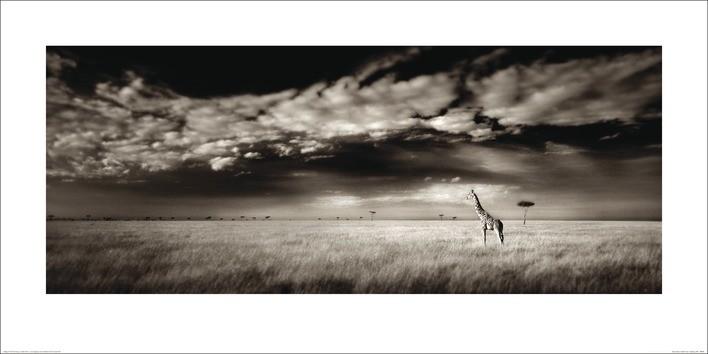 Poster  Ian Cumming  - Masai Mara Giraffe